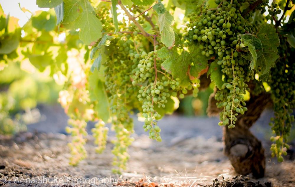 Santorini_photography_grapes