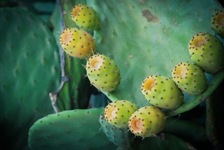 Cactus fruits. Cucumbers.