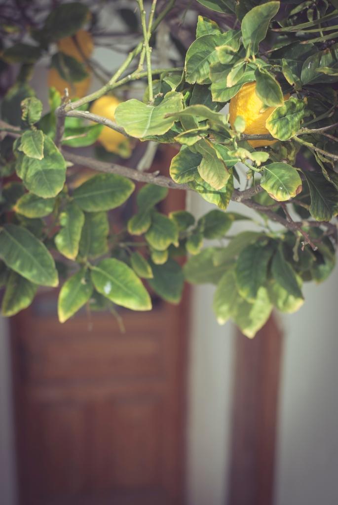 Lemon tree in Santorini