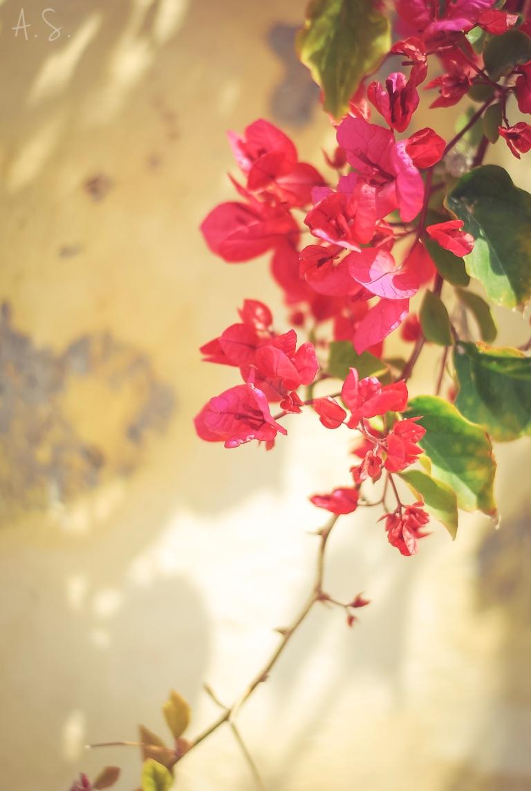Beautiful Greek Santorini bougainvillea flower